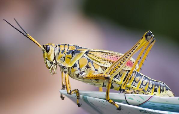 Картинка крупный план, насекомое, кузнечик