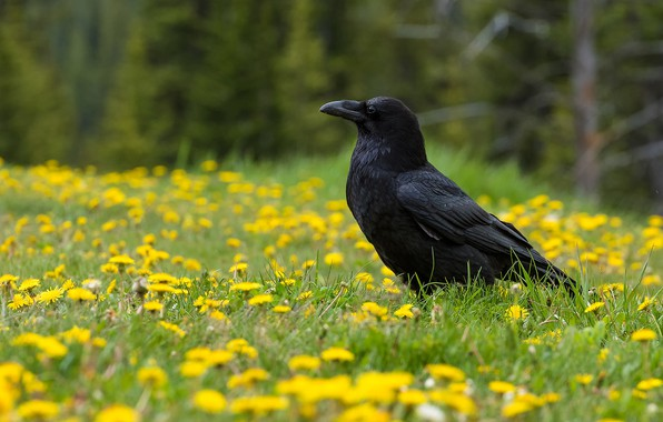 Картинка цветы, птица, ворон, одуван