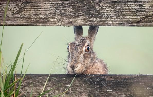 Картинка природа, забор, заяц