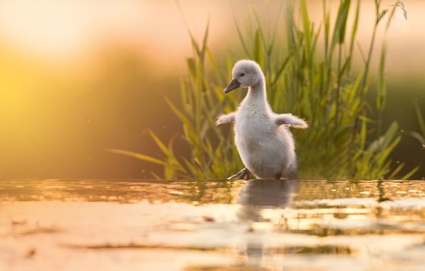 Картинка трава, вода, природа, лебедь, птенец