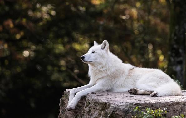 Картинка белый, деревья, ветки, природа, темный фон, камень, волк, лежит, профиль, зоопарк, боке, арктический, полярный, арктический …