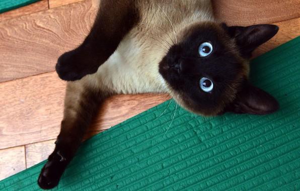 Картинка кошка, глаза, кот, взгляд, поза, зеленый, лапа, голубые, пол, лежит, коврик, сиамская