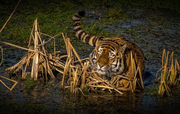 Картинка трава, солнце, природа, тигр, болото, хищник, в воде
