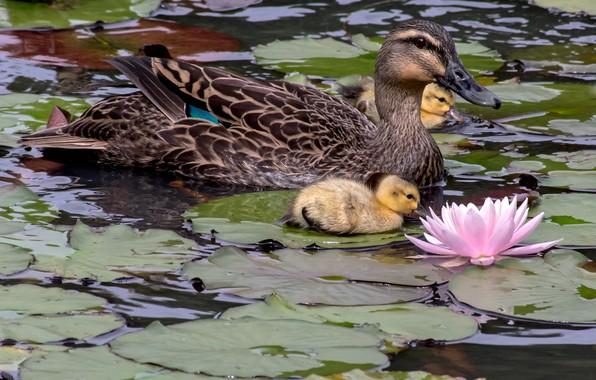 Картинка цветок, листья, птицы, утята, утка, птенцы, водяная лилия
