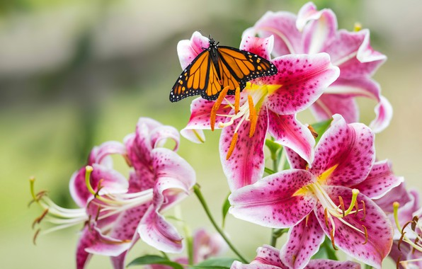 Картинка макро, бабочка, лилии, лепестки, тычинки