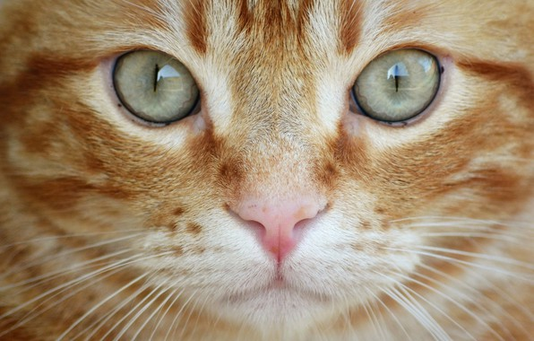 Картинка кошка, глаза, кот, взгляд, крупный план, рыжий, мордочка, котейка