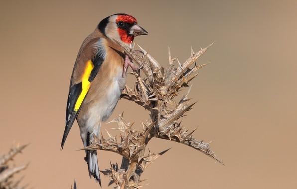 Картинка птица, колючки, щегол