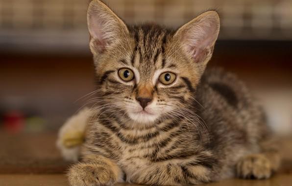 Картинка взгляд, портрет, мордочка, котёнок, котейка