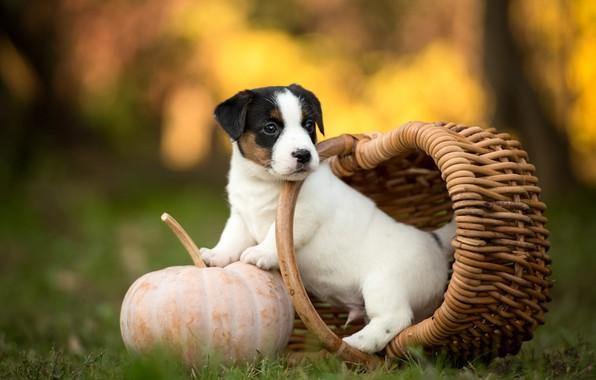 Картинка осень, белый, трава, взгляд, природа, поза, парк, фон, корзина, поляна, собака, маленький, сад, малыш, милый, …