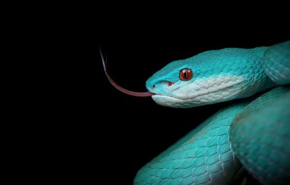 Картинка змея, чёрный фон, жало, тёмный фон