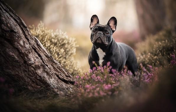 Картинка дерево, собака, Французский бульдог, вереск