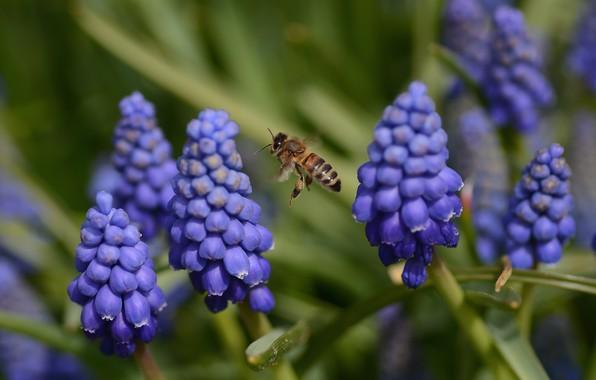 Картинка полет, цветы, весна, пчелка, мускарики
