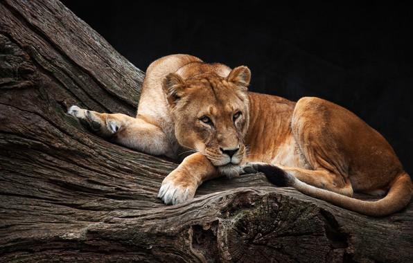 Картинка взгляд, поза, фон, дерево, отдых, темный, красавица, лежит, львица, зоопарк, царица