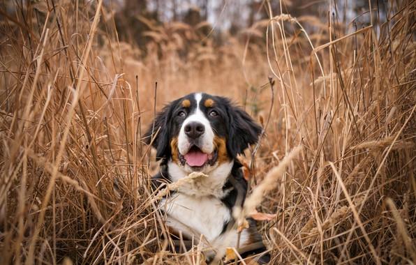 Картинка трава, природа, собака, бернский зенненхунд
