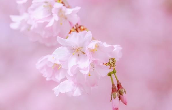 Картинка вишня, розовый, сакура, цветение, blossom, sakura, cherry, japanese
