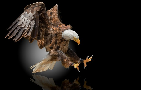 Картинка птица, орёл, чёрный фон, орлан, белоголовый орлан