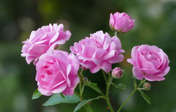 Картинка фон, розы, лепестки, розовые, бутончики