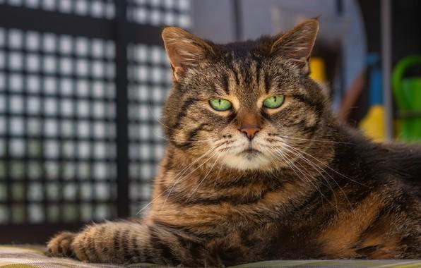 Картинка кот, взгляд, портрет, мордочка, котэ