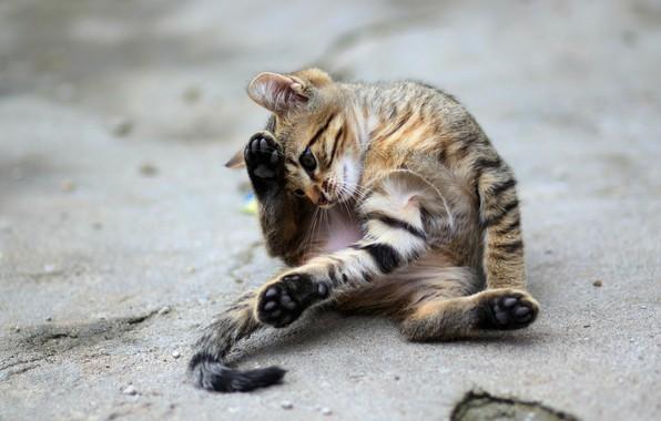Картинка дорога, кошка, взгляд, асфальт, поза, котенок, серый, улица, игра, лапы, хвост, котёнок, сидит, полосатый