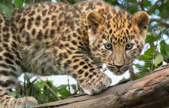 Картинка взгляд, леопард, бревно, детёныш, котёнок, дикая кошка