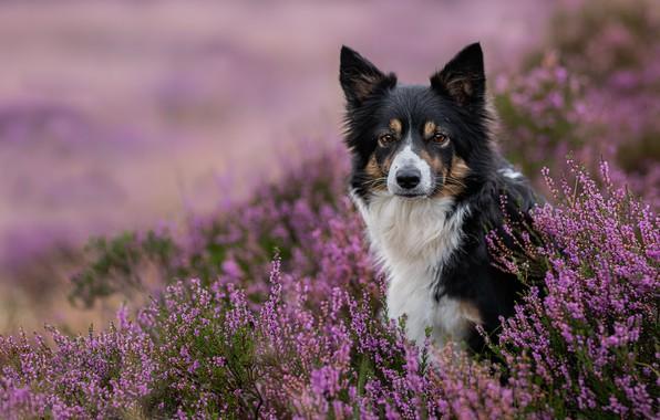 Картинка взгляд, морда, собака, вереск, Бордер-колли