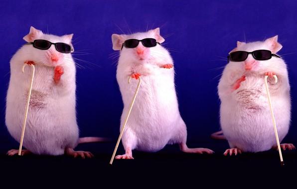 Картинка фиолетовый, поза, фон, темный, мышь, очки, три, крысы, белая, белые, мыши, трио, крыса, стойка, символ …