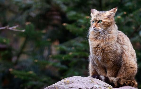 Картинка кот, взгляд, морда, ветки, природа, поза, серый, фон, камень, ели, злой, сидит, хвоя, зеленые глаза, …
