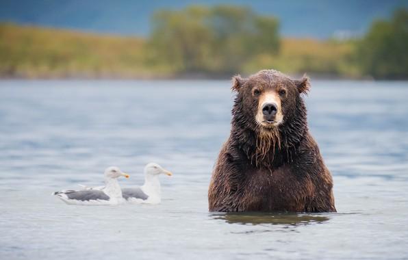 Картинка птицы, река, чайки, медведь, купание, водоем, бурый
