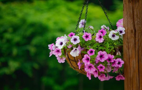Картинка лето, цветы, природа, яркие, куст, букет, столб, сад, розовые, белые, цветение, зеленый фон, висит, сиреневые, …