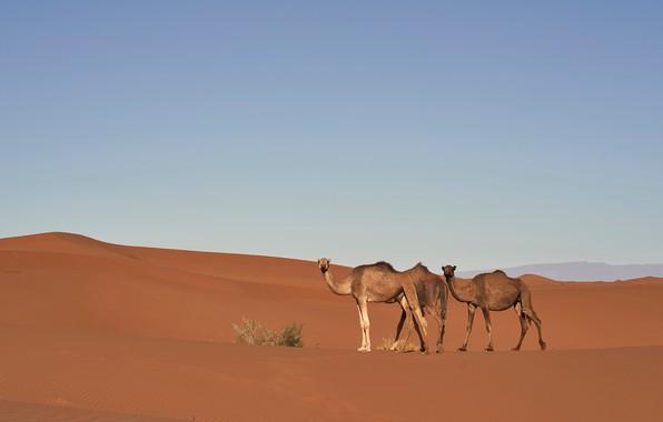 Картинка песок, небо, природа, холмы, пустыня, колючки, дюны, верблюд, простор, три, пески, верблюды, кустик