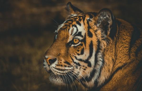Картинка морда, тигр, фон, дикая кошка
