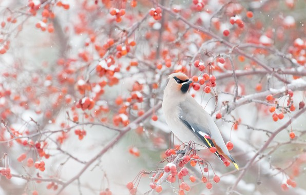 Картинка зима, снег, ветки, ягоды, птица, свиристель