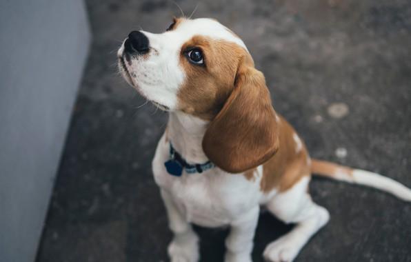 Картинка dog, sitting, beagle