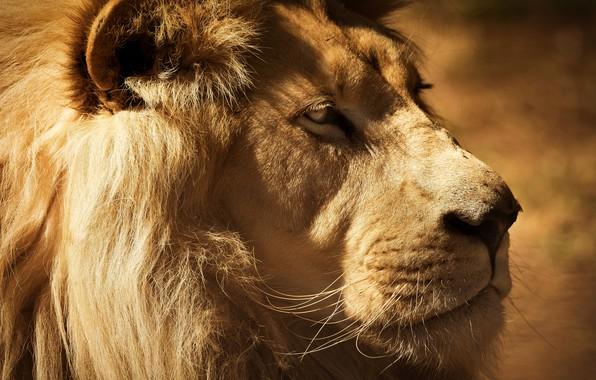 Картинка взгляд, морда, крупный план, портрет, лев, грива, царь зверей, профиль, монохром, важный