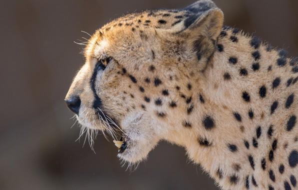 Картинка морда, фон, портрет, гепард, профиль, дикая кошка