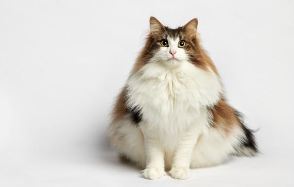 Картинка кошка, портрет, белый фон, пушистая, котейка, Норвежская лесная кошка