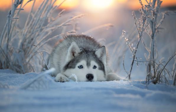 Картинка зима, морда, снег, собака, Хаски, Светлана Писарева