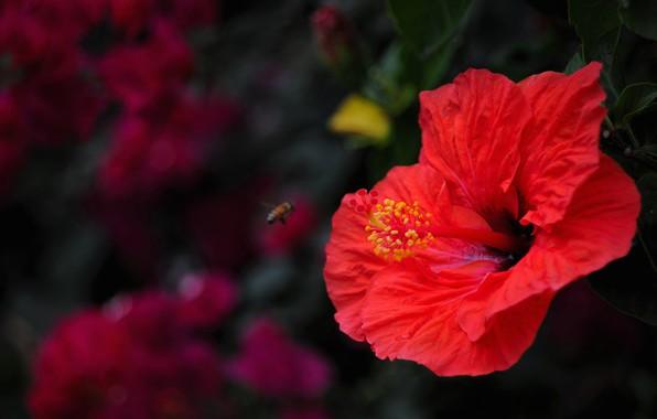 Картинка цветок, лето, макро, красный, темный фон, пчела, тычинки, насекомое, кусты, гибискус