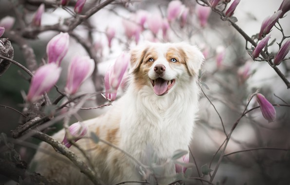 Картинка язык, взгляд, морда, ветки, улыбка, собака, размытость, цветение, цветки, магнолия, Австралийская овчарка, Аусси