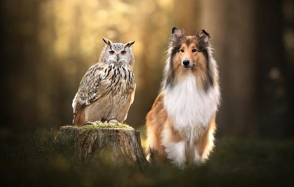 Картинка фон, сова, птица, пень, собака, филин, Колли