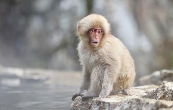 Картинка камни, обезьяна, детеныш, обезьянка, водоем, японский макак