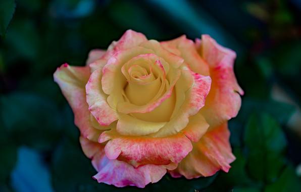 Картинка цветок, макро, природа, роза