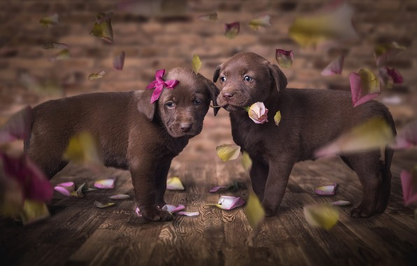 Картинка собаки, цветок, взгляд, любовь, цветы, поза, темный фон, фон, доски, роза, красота, глазки, лепестки, щенки, …