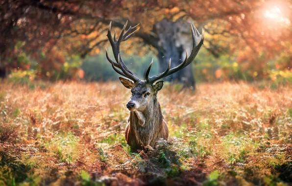 Картинка осень, природа, дерево, животное, олень, травы