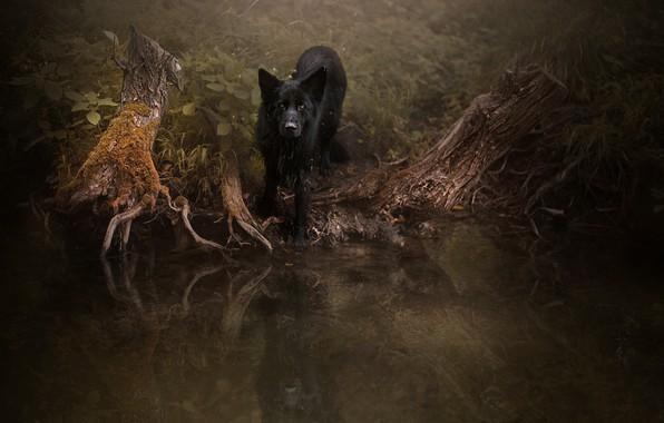 Картинка лес, взгляд, корни, отражение, темный фон, заросли, собака, черная, прогулка, водоем, немецкая овчарка, коряги