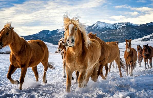 Картинка зима, поле, небо, взгляд, облака, снег, горы, конь, лошадь, вершины, кони, лошади, бег, грива, сугробы, …