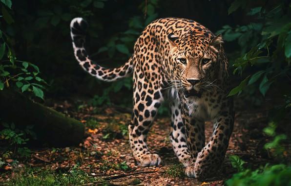 Картинка взгляд, морда, листья, природа, поза, темный фон, заросли, хищник, лапы, пасть, леопард, хвост, дикая кошка, …