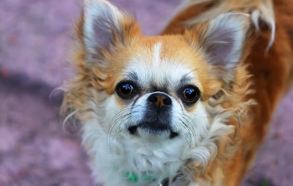 Картинка фон, друг, собачка, чихуахуа