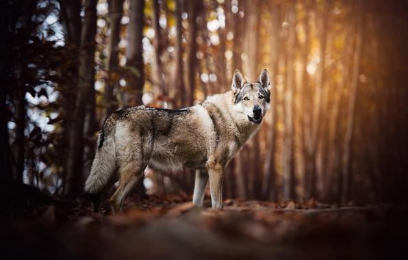 Картинка осень, лес, взгляд, морда, листья, свет, деревья, природа, поза, блики, парк, серый, фон, настроение, стволы, …