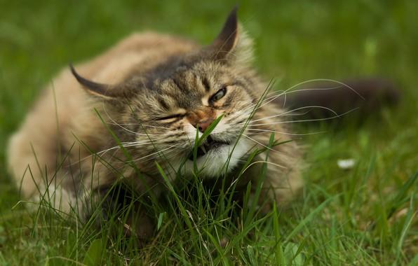 Картинка в траве, пушистая кошка, лежит на земле